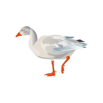 Snow goose vector