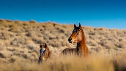 A mustang mare and her in the high desert