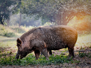Big old white wild boar in nature.