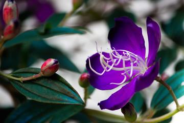 Brazilian Spider Flower, Glory Bush, Lasiandra Princess Flower