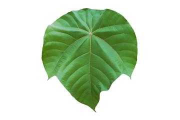 Big Green Leaf of the Pioneer Tree, Macaranga gigantea Isolated on White Background