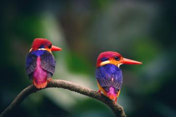 Black Kingfisher in thailand