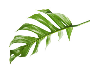 Monstera deliciosa leaf or Swiss cheese plant, Tropical foliage isolated on white background, with clipping path