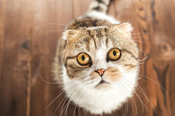 Cat in surprise looks with big eyes close up. British shorthair cat