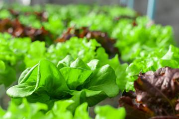 Green lettuce salad plant in organic garden.