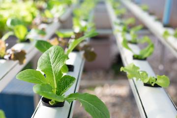 Green lettuce plant in organic garden.