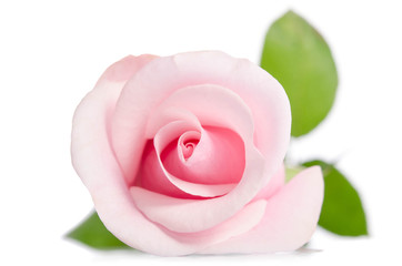 single bud of pink rose isolated on white background Wall mural