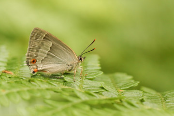 A side view of a Purple Hairstreak Butterfly (Favonius quercus) perched on bracken with its wings closed .