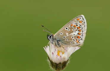 A pretty Brown Augus Butterfly (Aricia agestis) perched on a daisy flower.