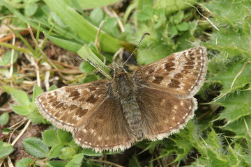A rare Dingy Skipper Butterfly (Erynnis tages) perched on a plant with its wings open.