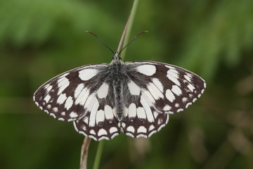 A pretty Marbled White Butterfly (Melanargia galathea) perched on a blade of grass with its wings open.