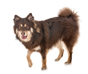 Finnish Lapphund in studio
