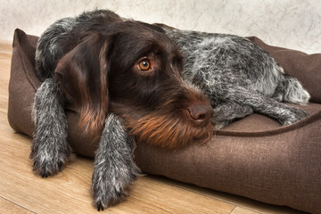 hunting dog resting in the dog bed at home