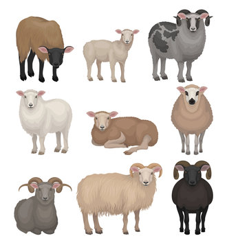 Flat vector set of cute sheeps and rams. Farm animals with woolly coat and curved horns. Domestic creature. Livestock farming