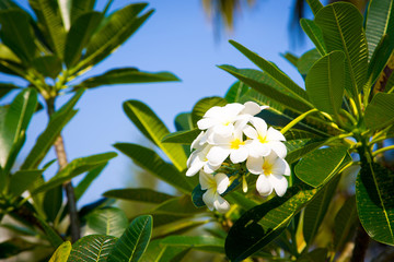 Plumeria flowers are white and yellow are Blossoming on tree. Natural background.