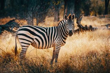 EInzelnes Zebra in einem lichten Wald im Moremi National Park bei Sonnenuntergang, Okavango Delta, Botswana Wall mural