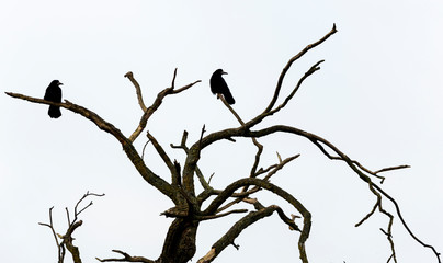 Silhuette of two crows on a branch of a dead tree