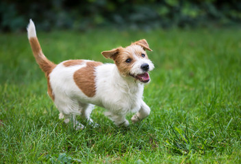 Happy funny jack russell pet dog puppy playing in the grass
