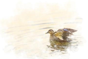 泳ぐカモ Wild duck is swimming
