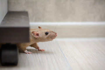 cute brown rat dumbo walking and sniffing around the house or apartment. Fototapete