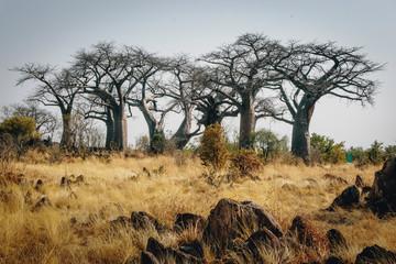 In de dag Baobab Gruppe großer Baobab-Bäume auf einem Hügel in der Nähe von Savuti, Chobe National Park, Botswana