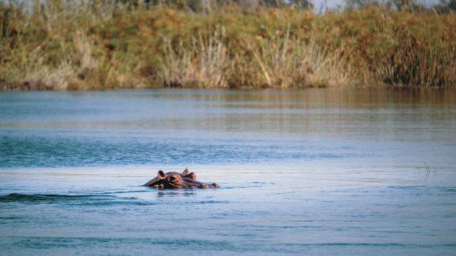 Flusspferd im Kwando River, Caprivi, Namibia