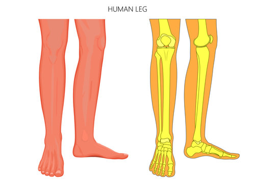 Vector illustration anatomy of human legs and  diagram of human bones isolated on white background. For advertising and medical publications
