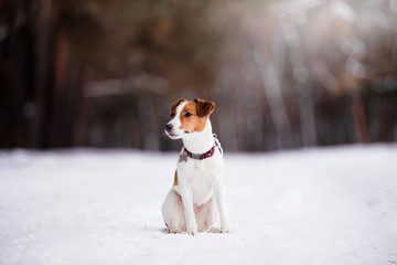 Dog breed Jack Russell Terrier runs through a snowy forest