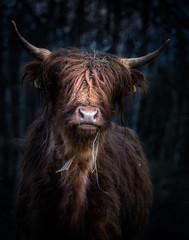 Keuken foto achterwand Schotse Hooglander Schottisches Hochlandrind (Bos Taurus) im Portrait vor kühlem Hintergrund