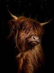Canvas Prints Highland Cow Schottisches Hochlandrind (Bos Taurus) im Seiten Portrait vor dunklem Hintergrund