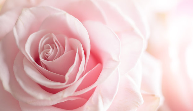 Close up of tenderness pink  rose.