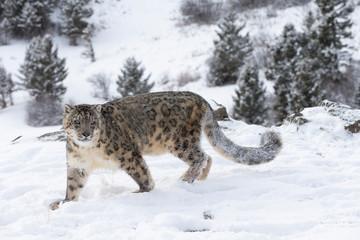 Fotobehang Luipaard Rare, Endangered Snow Leopard in Snowy environment