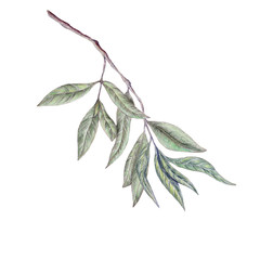 Hand drawn illustration of olive branch