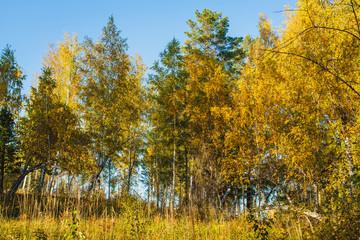 Tuinposter Canada in the golden woods in autumn in Siberia