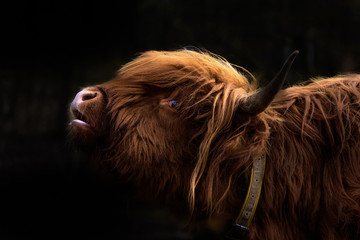 Canvas Prints Highland Cow Schottisches Hochlandrind / Bos Taurus / Highland Cattle