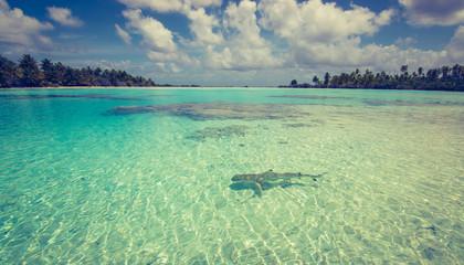 Black tip reef shark in the lagoon. Vintage toned image.