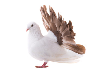 dove peacock isolated