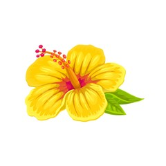 Hibiscus, tropical flower