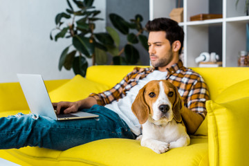 selective focus of beagle dog and man with laptop in living room