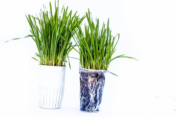 Close up of two small pots containing wheat grass in them isolated on white.