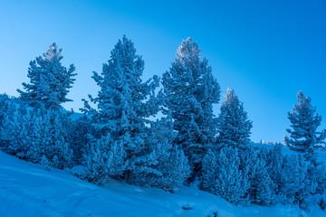 snow trees in mountain pirin bulgaria
