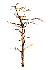 Dead tree isolated on white background Suitable for use.