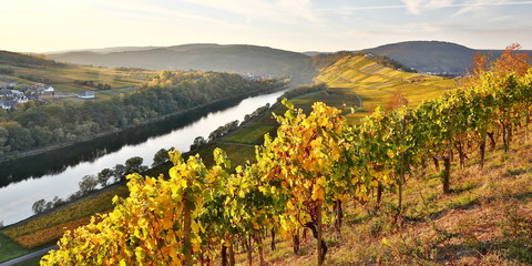 colorful vineyards at mosel valley in autumn