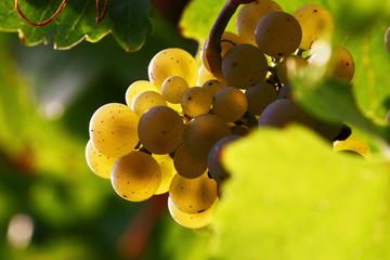Riesling grape Fototapete