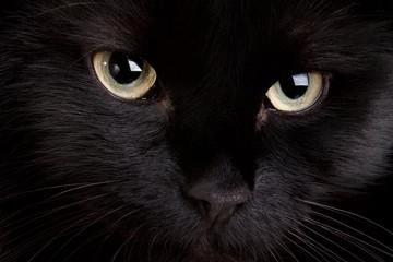 Black cat close up.