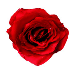 Fake rose white background