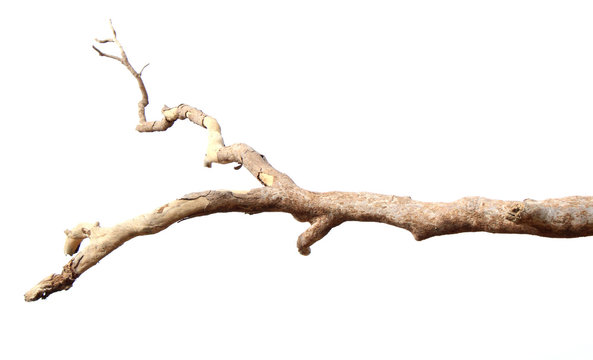 Dry branches, white background