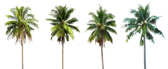 Coconut tree, white background