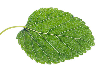 Textured mulberry leaf against a white background.