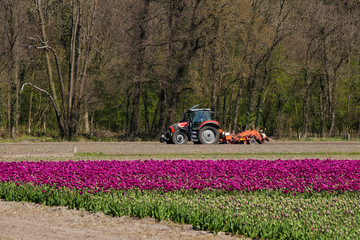 Tractor on a tulip field, tulips growing in Holland